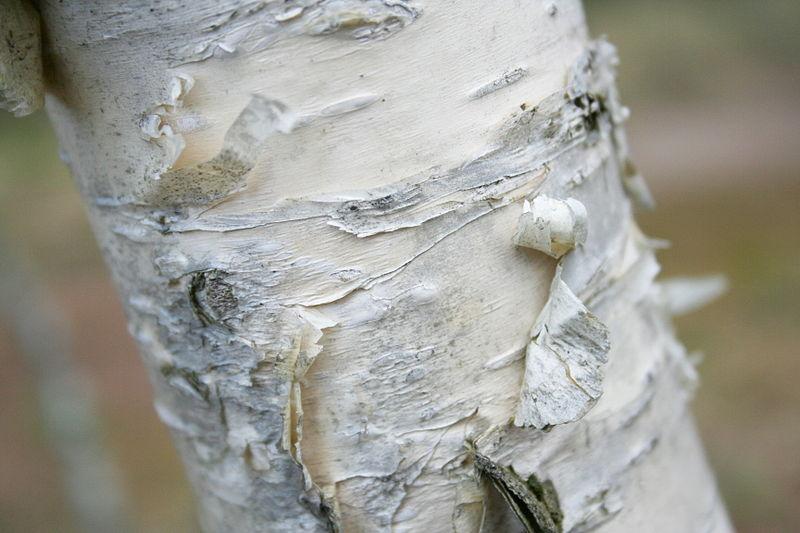 Betula ermanii | Kamtschatka-Birke