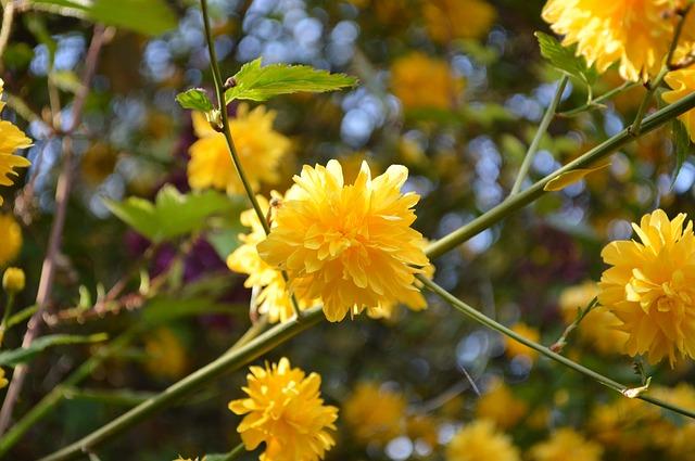Kerria japonica | Ranunkelstrauch