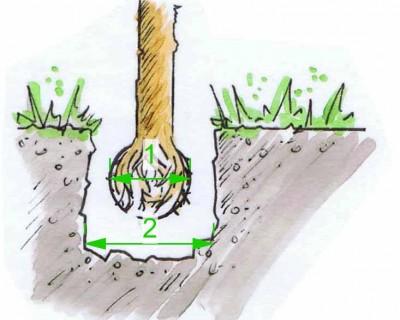 Größe einer Pflanzgrube für Bäume mit Wurzelballen