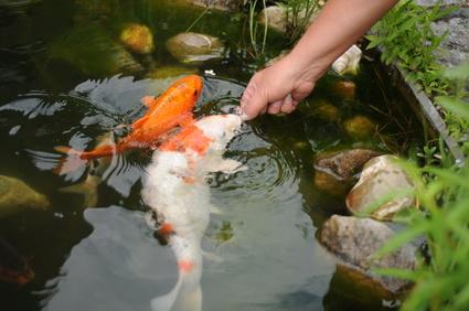 Fischteich mit kois gardomat for Zierfischteich anlegen