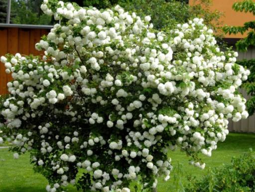 echter schneeball viburnum opulus roseum gardomat. Black Bedroom Furniture Sets. Home Design Ideas