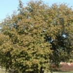 Coryllus avellana - Haselnuss