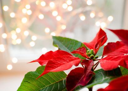 weihnachtspflanzen wieso weshalb warum gardomat. Black Bedroom Furniture Sets. Home Design Ideas