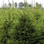 Gewöhnliche Fichte in Größe eines Weihnachtsbaums