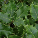 Ilex aquifolium - gemeine Stechpalme
