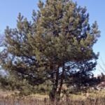Wald-Kiefer im Ganzen