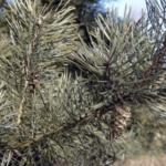 Wald-Kiefer im Detail
