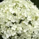 Ball-Hortensie Blüte