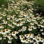 Garten-Sonnenhut 'Alba'