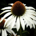 Garten-Sonnenhut 'Alba' Detail