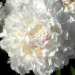 Pfingstrose 'Alba Plena' Blüte