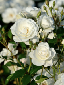 Rose 'Schneewittchen'