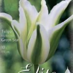 Tulpe 'Green Star'
