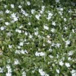 Weißes Immergrün
